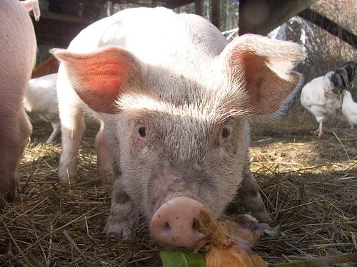 Pig1_1